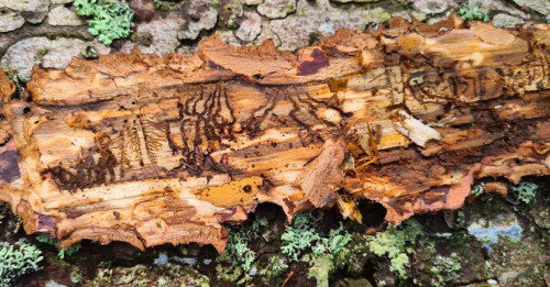 Miškininkai per rugsėjį išžvalgė virš 100 000 ha miškų: dėl palankių sąlygų žievėgraužis tipografas smarkiai pakenkė eglynams