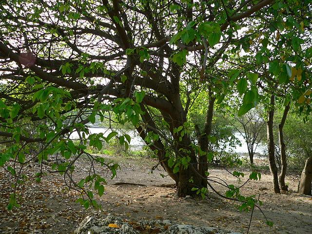 Nuodingiausias medis pasaulyje
