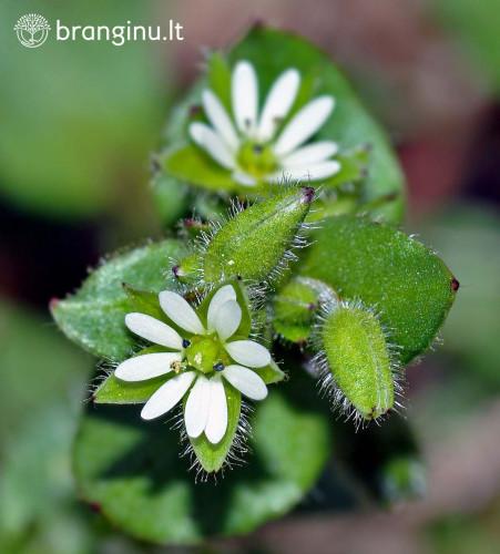Augalai - gyvieji sinoptikai