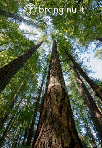 Aukščiausias Lietuvos medis