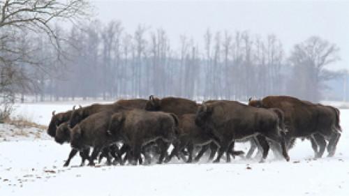 Kvapą gniaužiantys gyvūnai: Kėdainių girininkas nufilmavo laisvėje besiganančius stumbrus