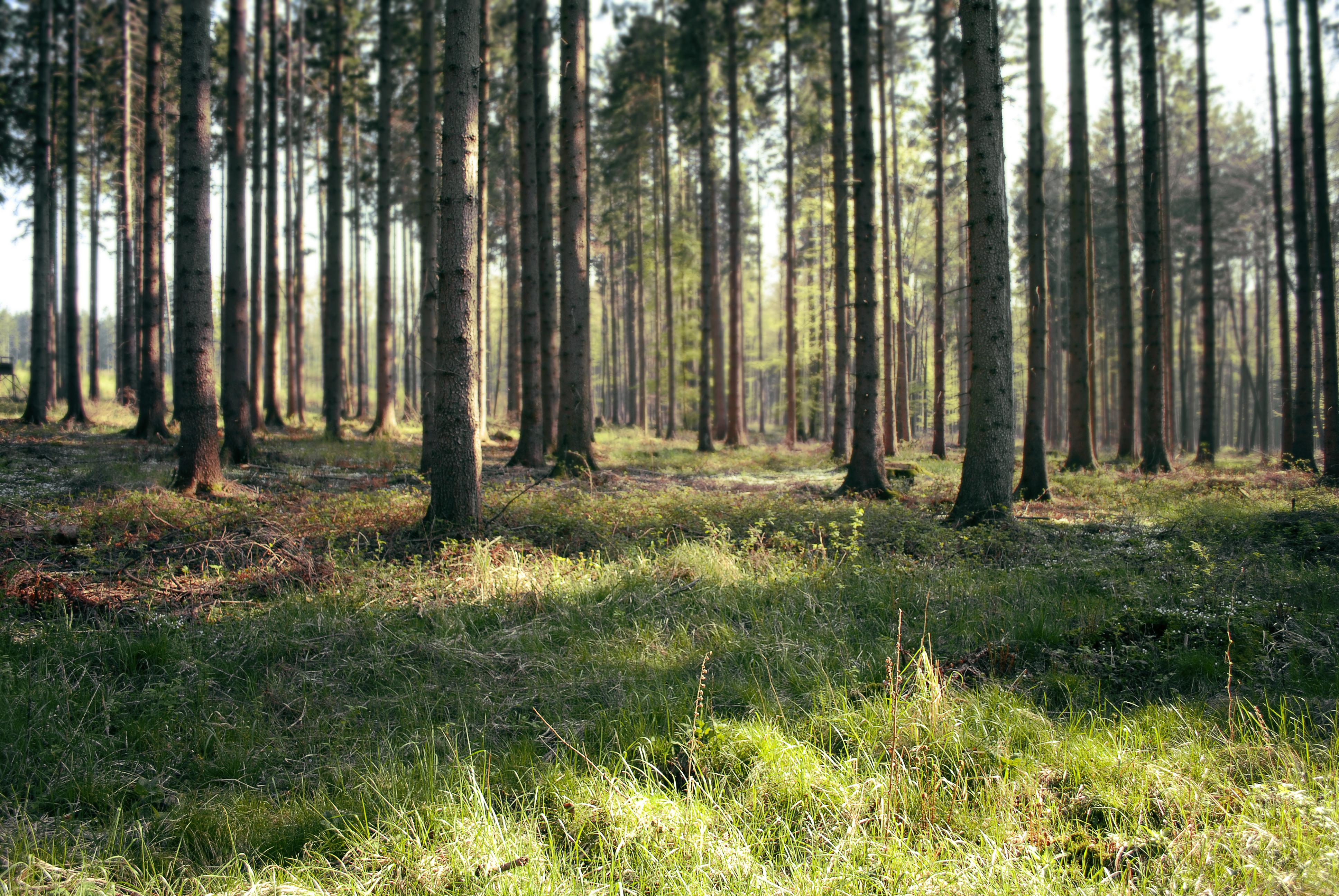 Pertvarkos miškų urėdijose – kas laukia mūsų miškų?