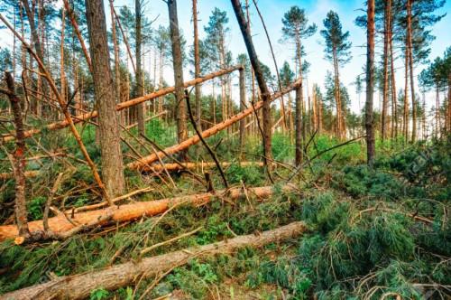 Kaip tvarkyti audrų nusiaubtus miškus?