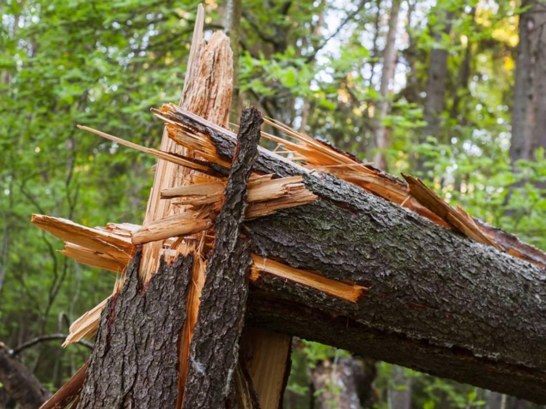 Medžių liemenų kenkėjas apniko egles – miškininkai gelbės spygliuočių medynus